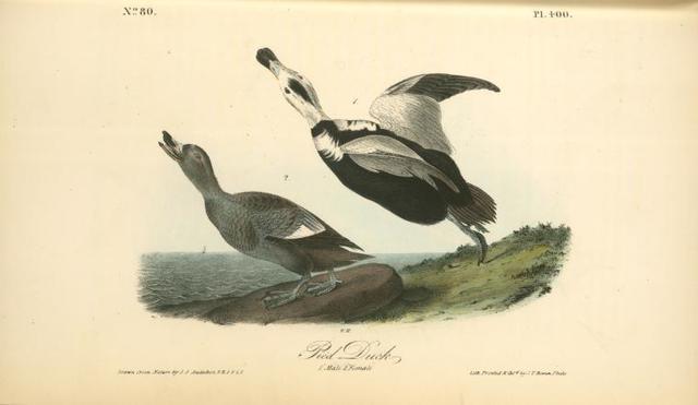 Pied Duck. 1. Male. 2. Female.