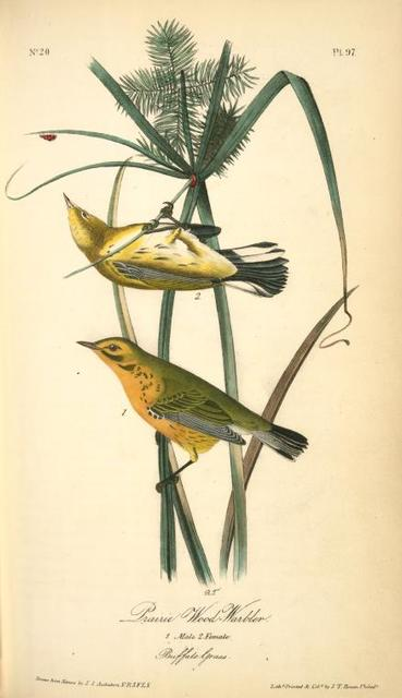 Prairie Wood-Warbler. 1. Male. 2. Female. (Buffalo Grass).