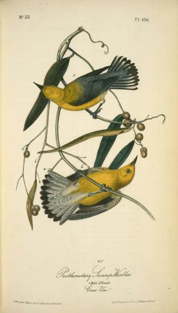Prothonotary Swamp-Warbler. 1. Male. 2. Female. (Cane Vine.)