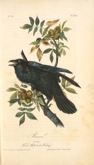 Raven. Old Male. (Thick-Shell bark Hickory).
