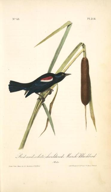 Red-and-white-shouldered Marsh-Blackbird. Male.
