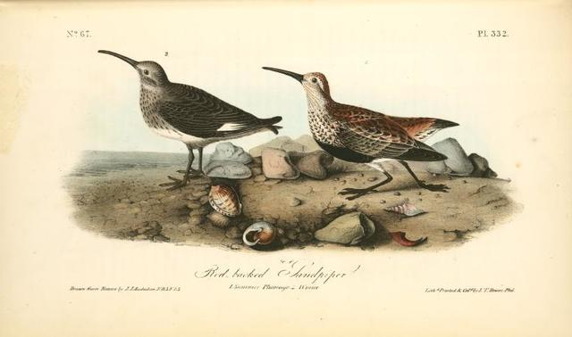 Red-backed Sandpiper. 1. Summer plumage. 2 Winter.