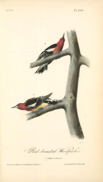 Red-breasted Woodpecker. 1. Male. 2. Female.
