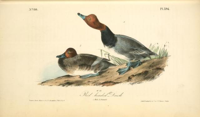 Red-headed Duck. 1. Male. 2. Female.