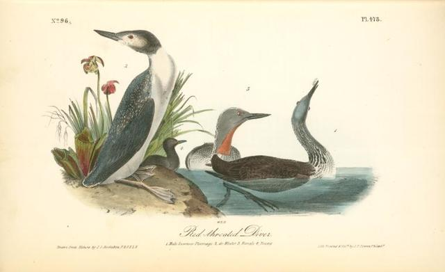 Red-throated Diver. 1. Male Summer Plumage. 2. do Winter. 3. Female. 4. Young.