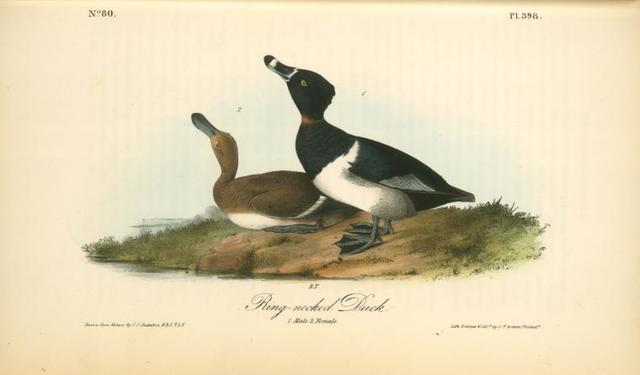 Ring-necked Duck. 1. Male. 2. Female.