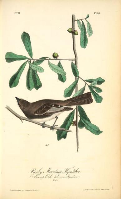 Rocky Mountain Flycatcher, male. (Swamp Oak. Quercus Aquatica.)