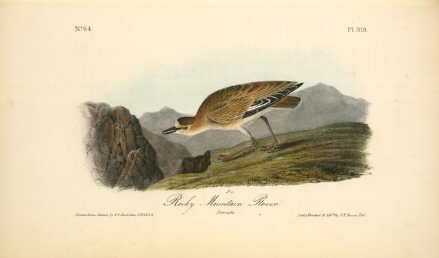 Rocky Mountain Plover. Female.