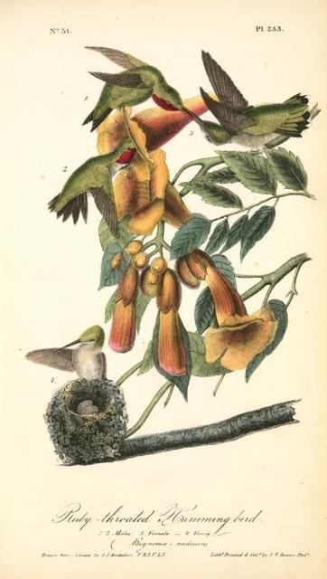 Ruby-throated Humming bird. 1. 2. Males. 3. Female. 4. Young. (Bignonia -radicans.)