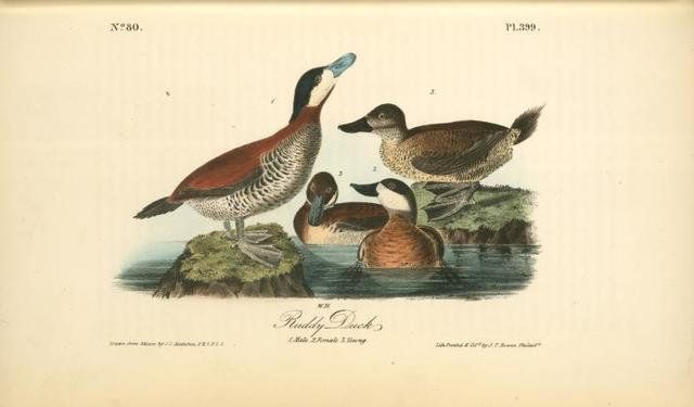 Ruddy Duck. 1. Male. 2. Female. 3. Young.