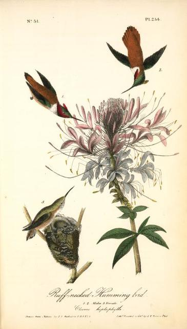 Ruff-necked Humming bird. 1. 2. Males. 3. Female. (Cleome heptaphylla)