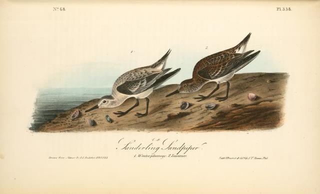 Sanderling Sandpiper. 1. Winter plumage. 2. Summer.