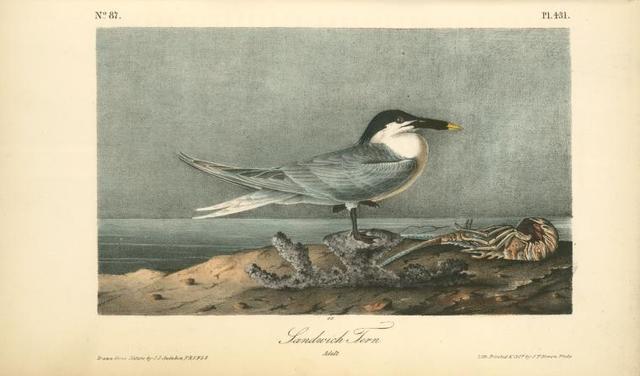 Sandwich Tern. Adult.