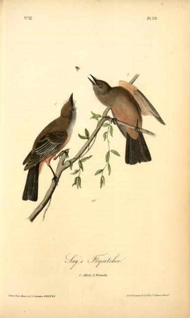 Say's Flycatcher, 1. Male, 2. Female.