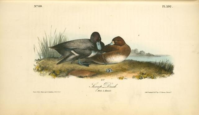 Scaup Duck. 1. Male. 2. Female.