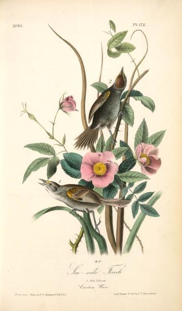 Sea-side Finch. 1. Male. 2. Female. (Carolina Rose. Rosa Caroina.)