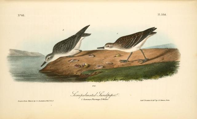 Semipalmated Sandpiper. 1. Summer plumage. 2. Winter.