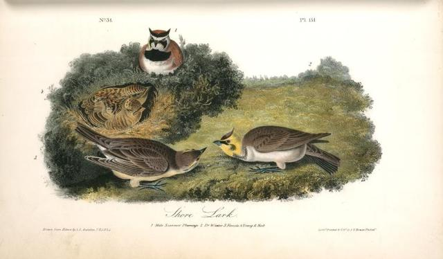 Shore Lark. 1. Male, Summer plumage. 2. D-o Winter. 3. Female. 4. Young & Nest.