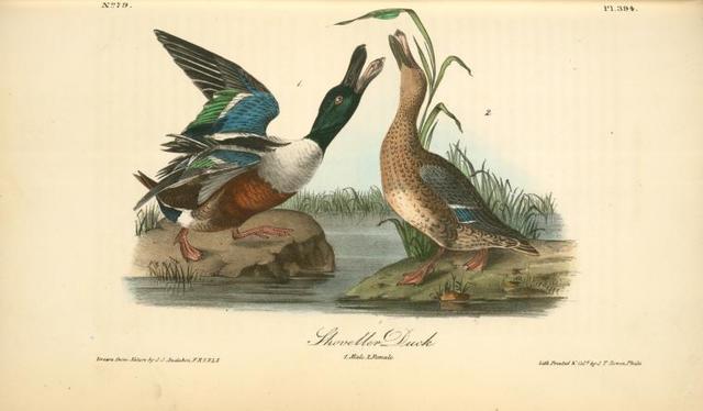 Shoveller Duck. 1. Male. 2. Female.