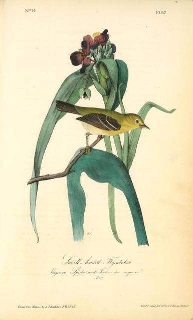 Small-headed Flycatcher. Male. (Virginian Spider-Wort. Tradescantia Virginica.)