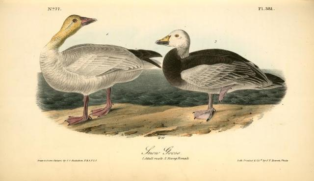 Snow Goose. 1. Adult Male. 2. Young Female.