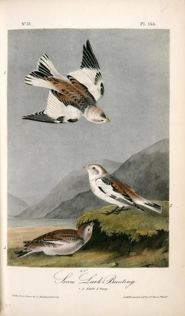 Snow Lark Bunting. 1. 2. Adult. 3. Young.