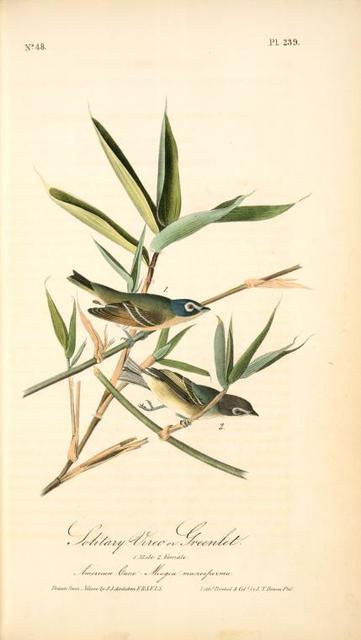 Solitary Vireo, or Greenlet. Male. (American Cane. Miegia macrosperma)