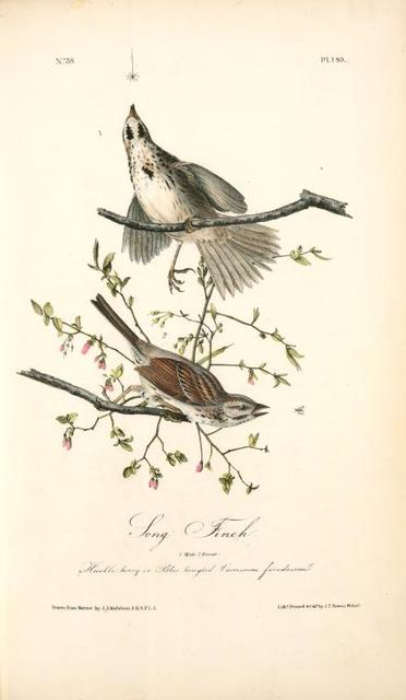 Song Finch. 1. Male. 2. Female. (Huckle-berry or Blue tangled [tangles]. Vaccinium frondosum.)