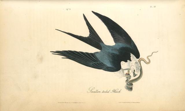 Swallow-tailed Hawk.