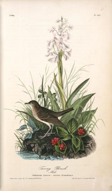 Tawny Thrush . Male. (Habenaria Lacera - Cornus Canadensis.)
