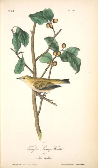 Tennessee Swamp-Warbler. Male. (Ilex laxyflora.)