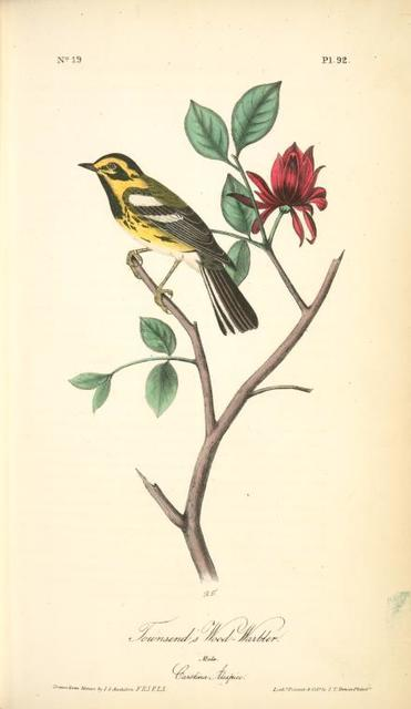Townsend's Wood-Warbler. Male. (Carolina Alcspice [allspice].)
