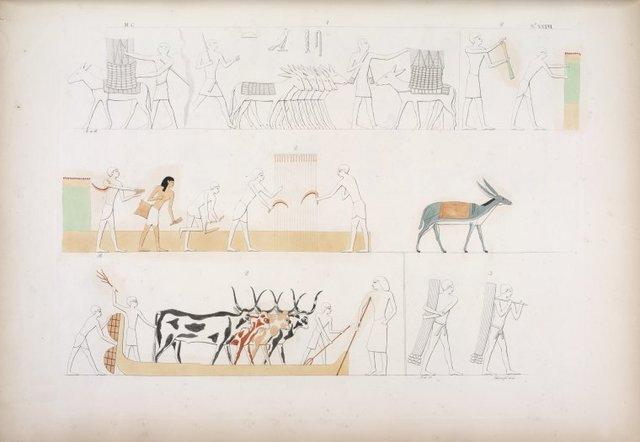Trasporto delle biade. Fig. 2. Raccolta del dorrah, specie di saggina (holcus); e battitura della medesima per mezzo dei bovi.  Fig. 3. Raccolta del papiro.