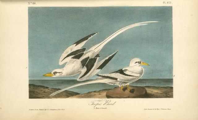 Tropic Bird. 1. Male. 2. Female.