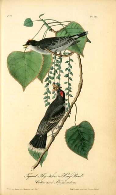 Tyrant Flycatcher or King Bird. (Cotton wood. Populus candicans).