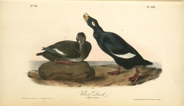Velvet Duck. 1. Male. 2. Female.