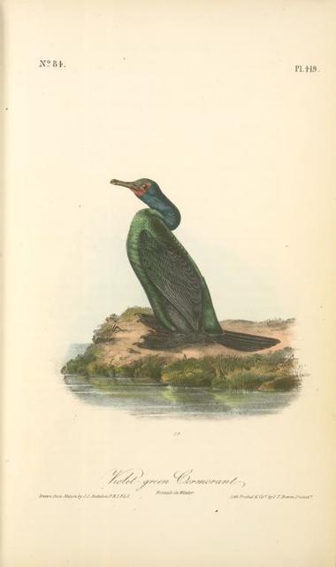 Violet-green Cormorant. Female in Winter.