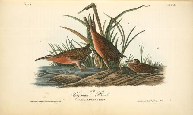 Virginian Rail. 1. Male. 2. Female. 3. Young.