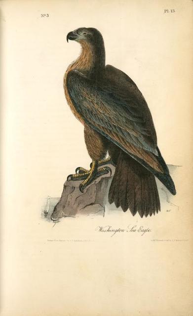 Washington Sea Eagle.