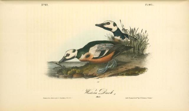 Western Duck. Males.
