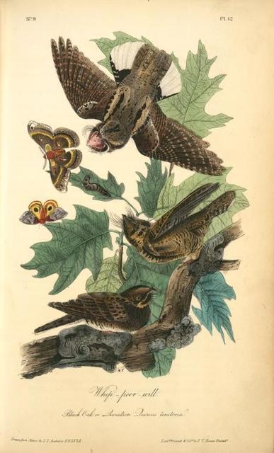 Whip-poor-will. (Black Oak, or Quercitron. Quercus tinctoria.)