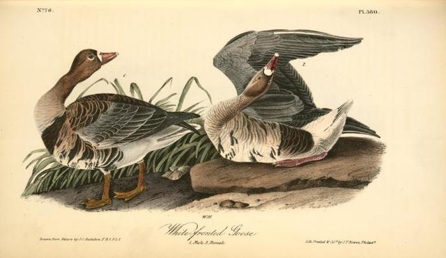 White-fronted Goose. 1. Male. 2. Female.