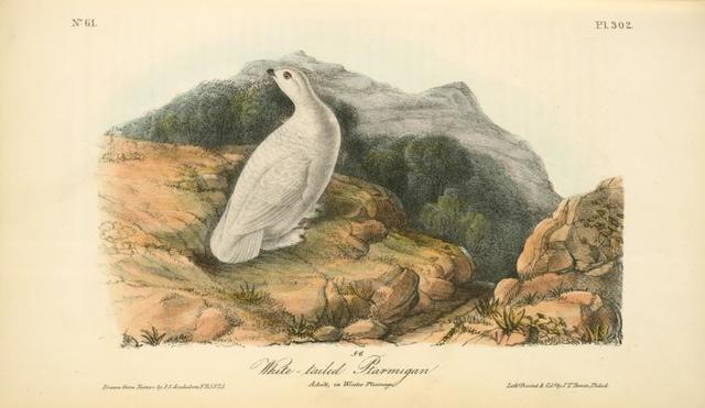 White-tailed Ptarmigan. Adult in Winter plumage.