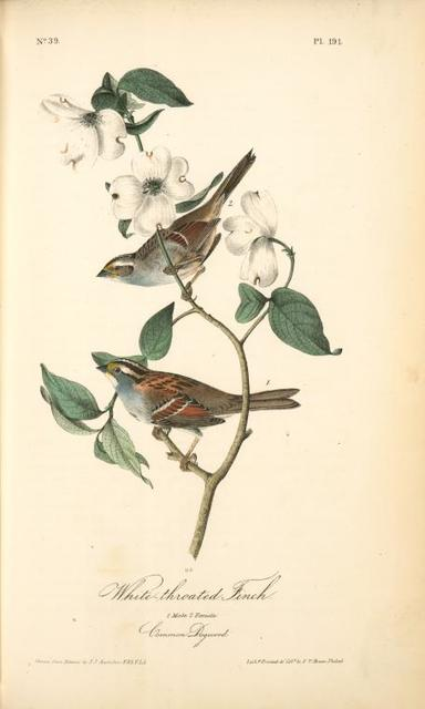 White-throated Finch. 1.Male. 2. Female. (Common Dogwood.)