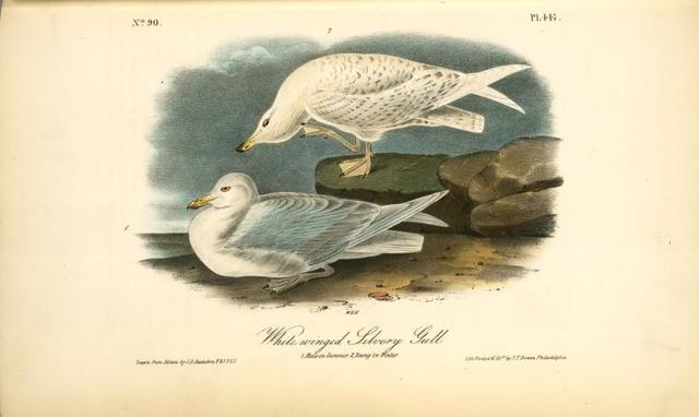 White-winged Silvery Gull. 1.Male in Summer. 2. Young in Winter.