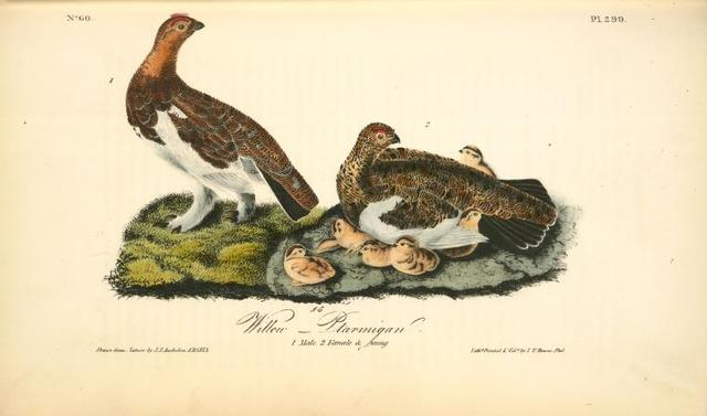 Willow Ptarmigan. 1. Male. 2. Female and Young.