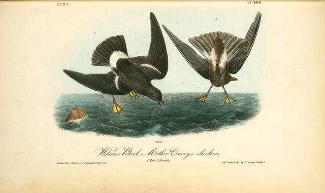 Wilson's Petrel. --Mother Carey's chicken. 1. Male.2. Female.