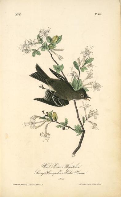Wood Pewee Flycatcher. Male. (Swamp Honeysuckle. Azalea Viscosa).