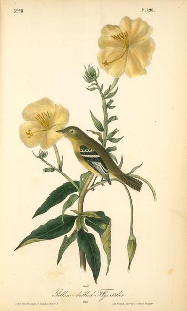 Yellow-bellied Flycatcher. Male.