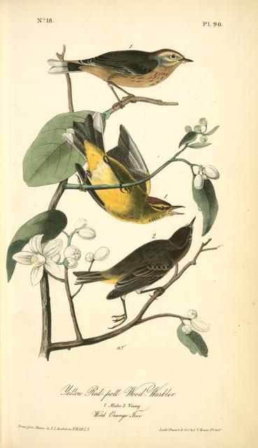 Yellow Red-poll Wood-Warbler. 1. Males. 2. Young. (Wild Orange Tree.)